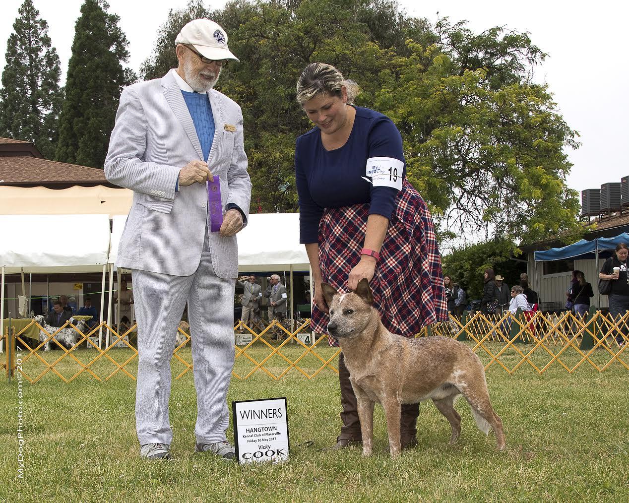 Cobalt kennels Australian cattle dogs